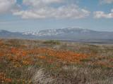 Antelope Valley Poppy Field in Calif - Minolta 7HI.jpg