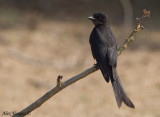 Black Drongo -- sp 61