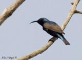 Purple Sunbird -- sp 34