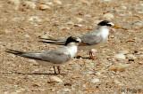 Little Tern -- sp 191