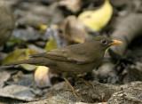 Grey-winged Blackbird- female  -- sp 210