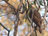 Collared Sparrowhak