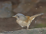 Brown-cheeked Fulvetta -- sp 68