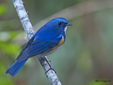 Red-flanked Bluetail -- Sp 252