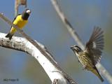 Spot-winged Grosbeak -- Sp 256