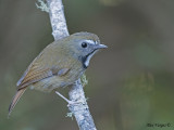White-gorgeted Flycatcher -- Sp 258