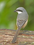 Grey-backed Shrike -- Sp 264