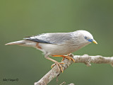 Chestnut-tailed Starling -- 271