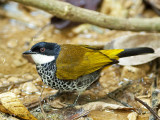 Scaly-breasted Bulbul  --  Sp 278