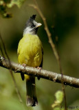 Crested Finchbill -- sp 97