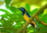 Orange-bellied Leafbird - male -- sp 43