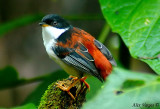 Rufous-backed Sibia -- sp 94
