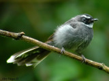 White-throated Fantail -- sp 91