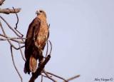 Brahminy Kite -- sp 132