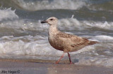 Slaty-backed Gull - juvenile -- sp 190