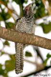 Asian Koel female -- sp 15