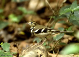 Forest Wagtail -- sp 26