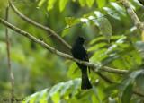 Drongo Cuckoo -- sp 124