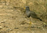 Grey-headed Lapwing -- sp 147