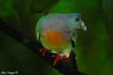 Pink-necked Green Pigeon -- sp 122