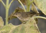 Dusky Warbler -- sp 53