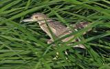 Night Heron juv