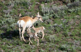 Pronghorn with twins