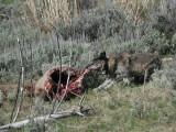 Wolf on carcass