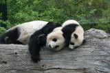 Fu Long & Yang Yang