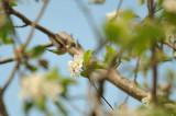 Hummingbird COLIBRI À GORGE RUBIS ( F ) Ruby-throated Hummingbird