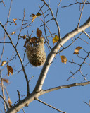 Nid d'Oriole du Nord /  Northern Oriole nest