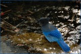 Stellar Jay at Lake Tahoe after a dip in the water