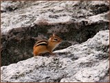 The friendly Chipmunk at Table Rock