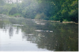 Flotilla 1 - American alligators in the Okefenokee, Georgia, USA