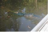 American alligator, Okefenokee, Georgia, USA