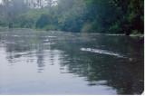 Flotilla 4 - alligators in the Suwanne Canal, Okefenokee