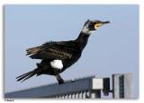 Watervogels  -  Waterbirds a t/m z