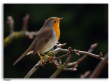 Roodborst / Robin / Erithacus Rubecula