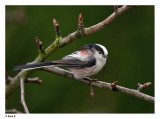 Staartmees /  Long- tailed Tit