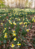 More Kempley daffs