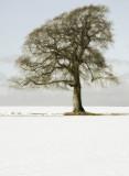 A46 snowtree, soft sepia