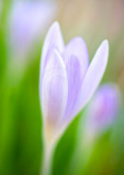 crocus with nifty-fifty(1)