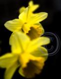 Garden daffodils(2)