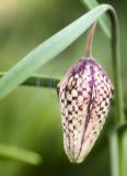 Fritillaria Meleagris(Snakeshead Fritillary)(4)