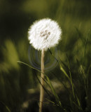 Dandelion clock ready to chime...