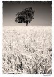 White for harvest
