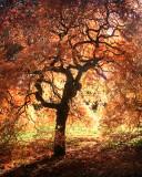 Burning bush, Westonbirt, Glos.