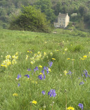 Cowslips and bluebells