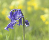 solo bluebell