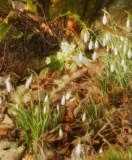 Sunny primrose